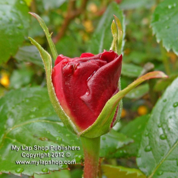 First Rose Bud 2012