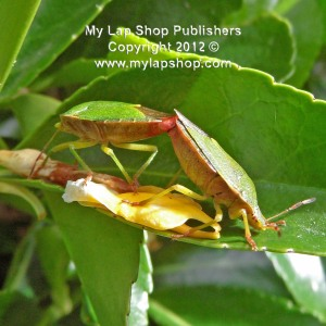Green Shield Bugs Mating