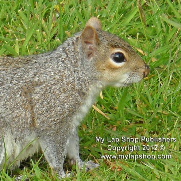Grey Squirrel's Eye