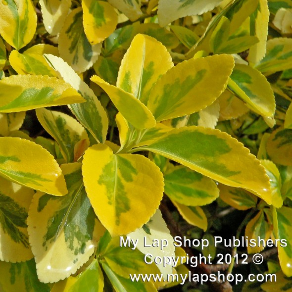 Euonymus Emerald And Gold Leaves